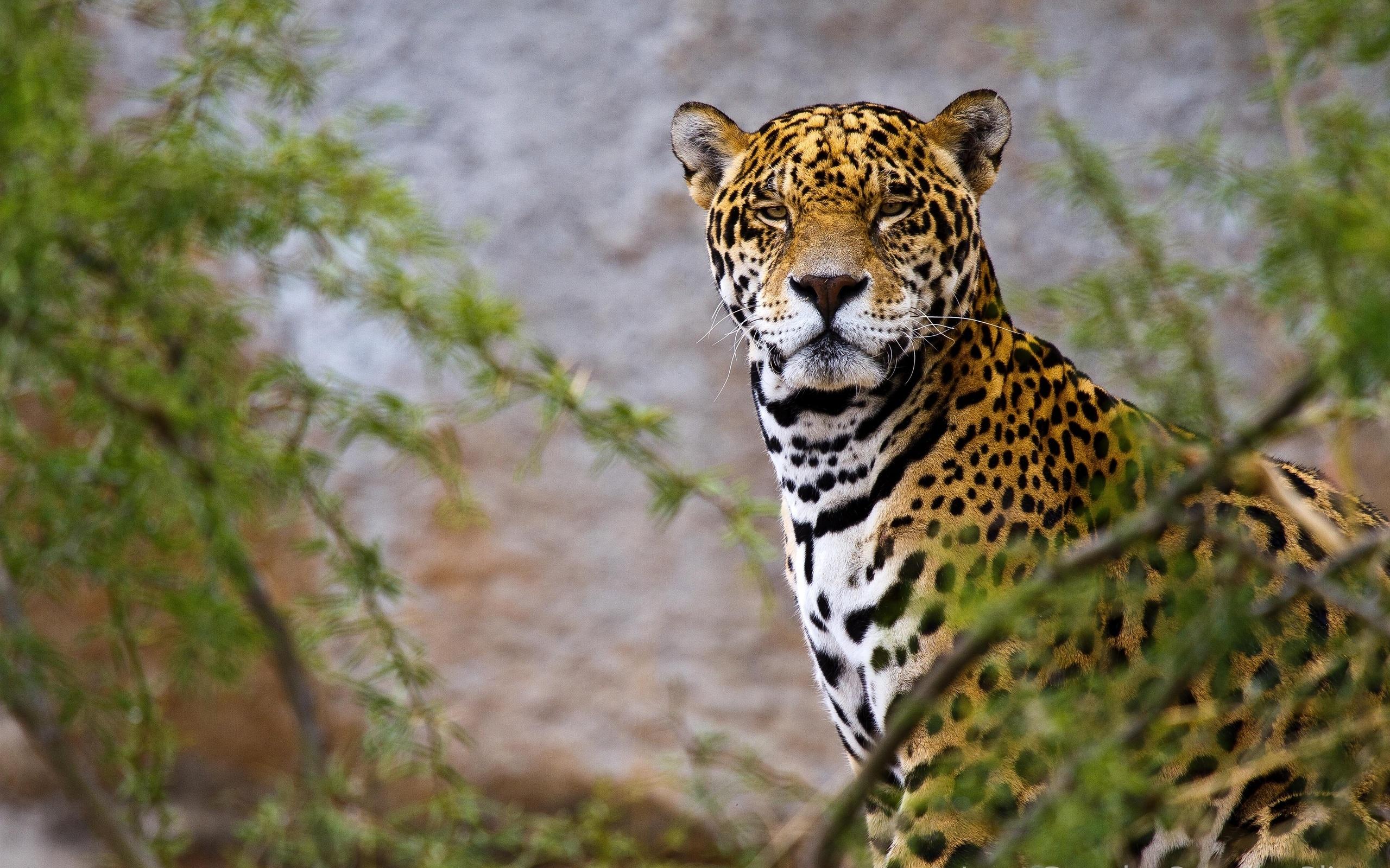 Animal Jaguar Wallpaper 2560x1600