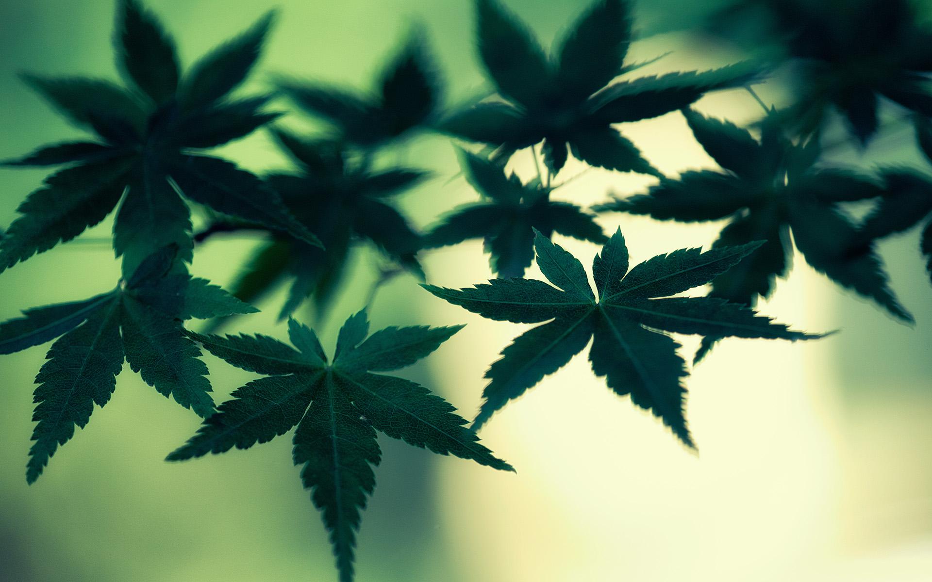 Marijuana Cannabis Leaves Green Macro weed wallpaper 1920x1200 1920x1200