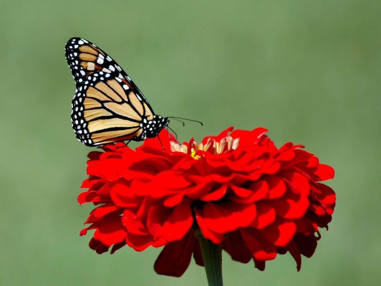 Monarch Butterfly Wallpapers 1600x1200