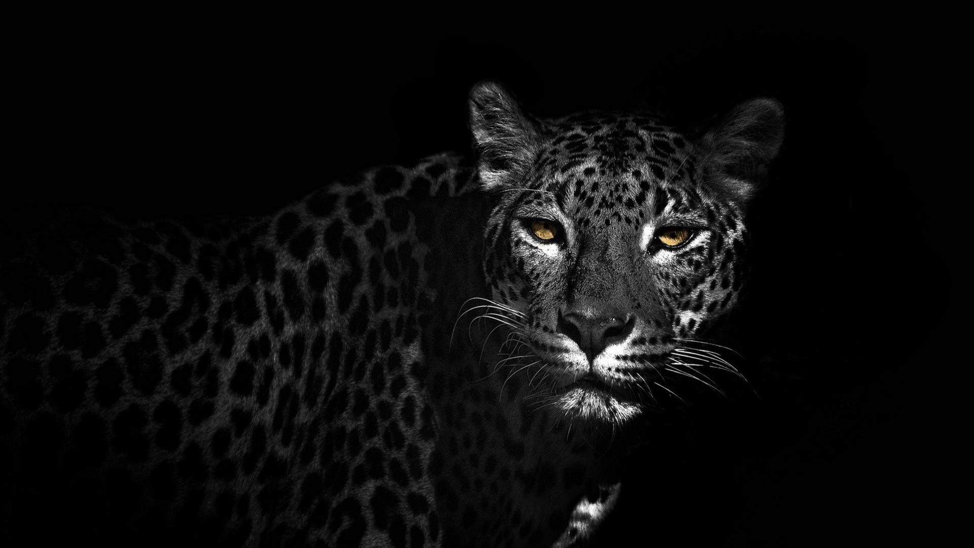 download Black and white animals leopards wallpaper 38563 1920x1080