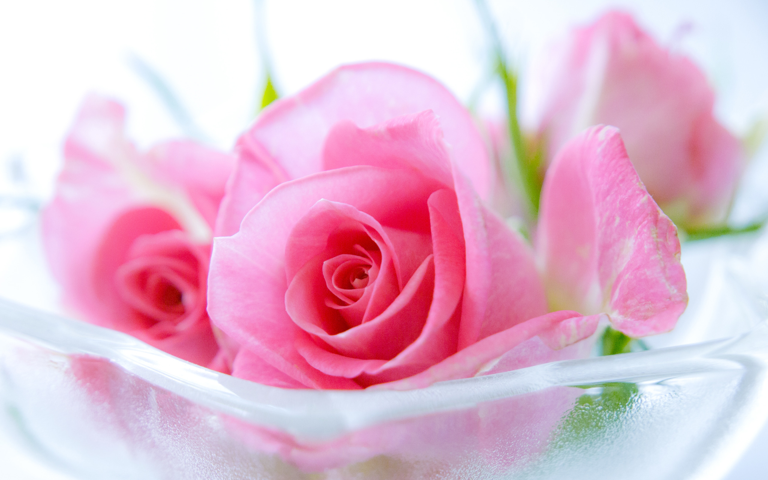 Pink Roses Widescreen   Wallpaper High Definition High Quality 2560x1600