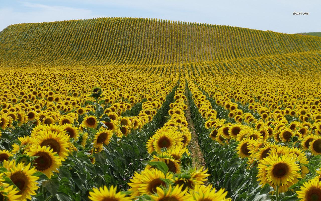 Field Of Sunflowers Wallpapers - WallpaperSafari