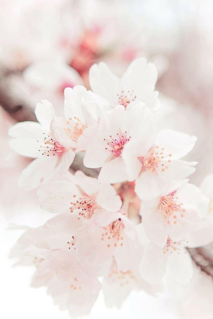 Pastel Cherry Blossom Background   683x1024   Download HD 683x1024
