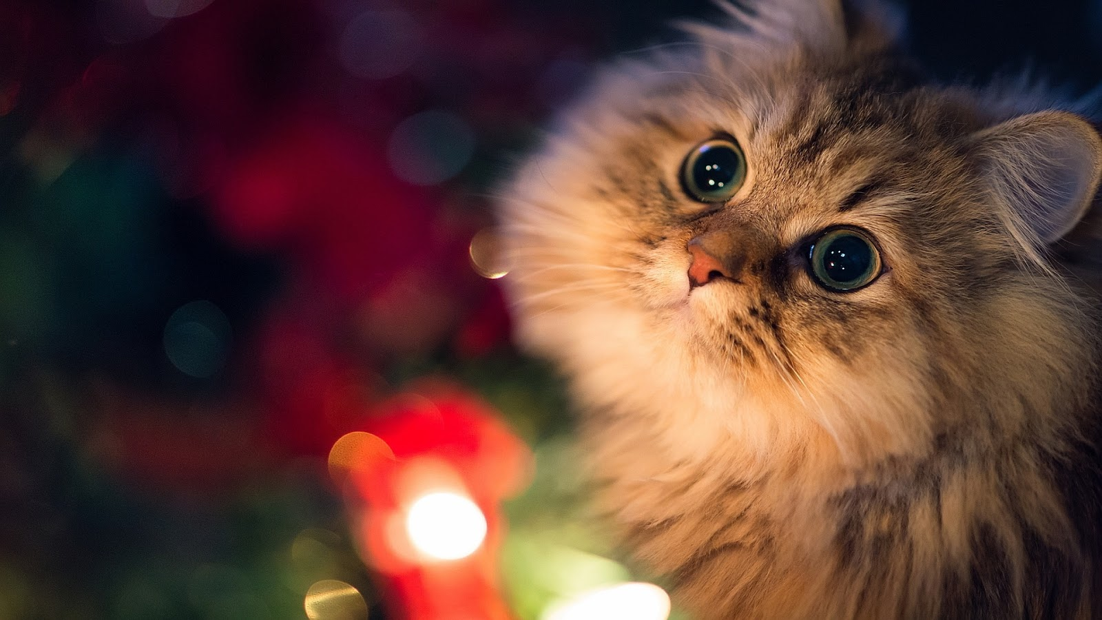 Cute Cat with Big Eyes Full HD Desktop Wallpapers 1080p 1600x900