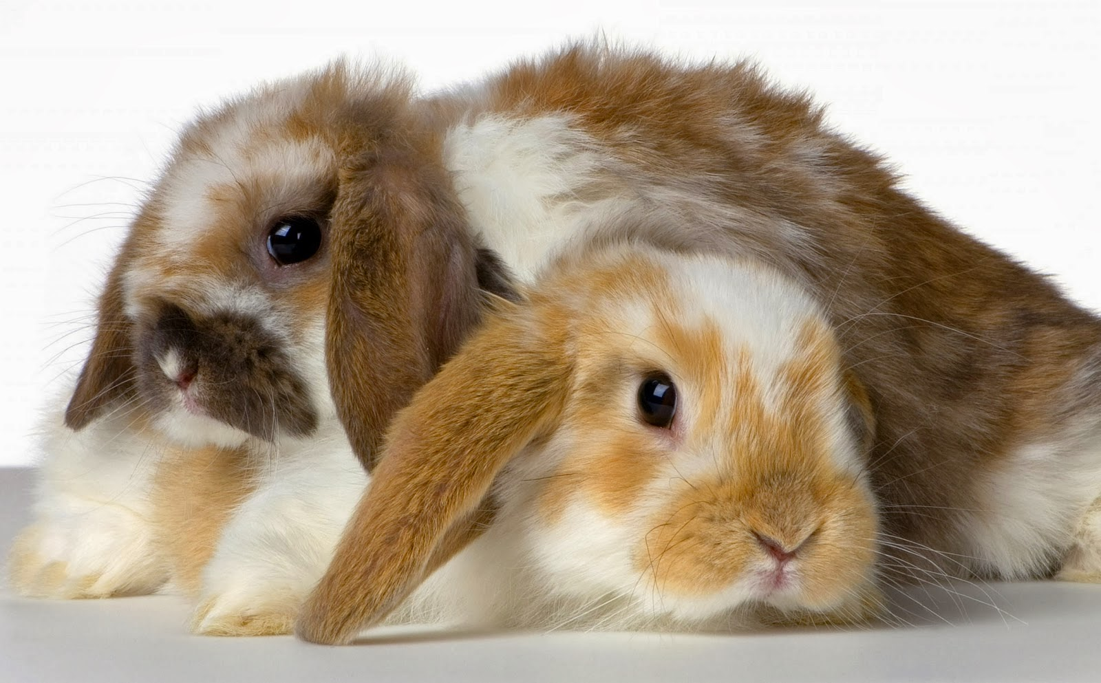 HD Wallpapers Downloads Beautiful Baby Rabbits Wallpapers 1600x993