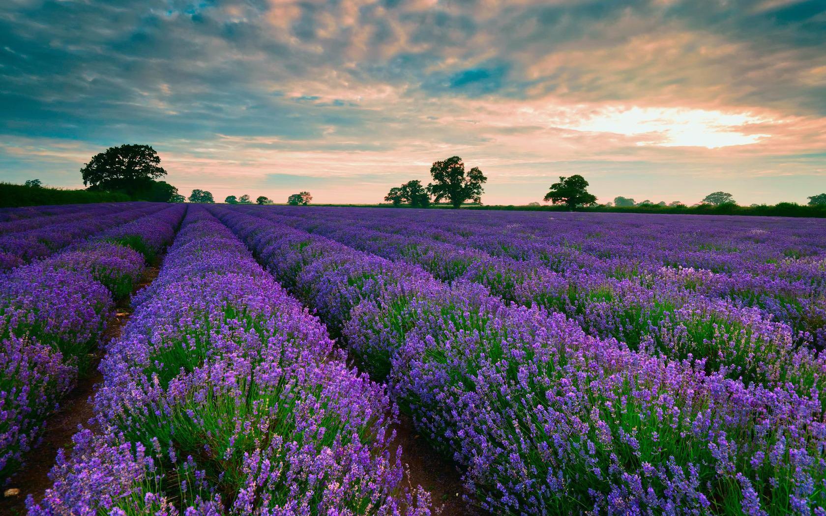 Purple fields of lavender wallpaper 16979 1680x1050