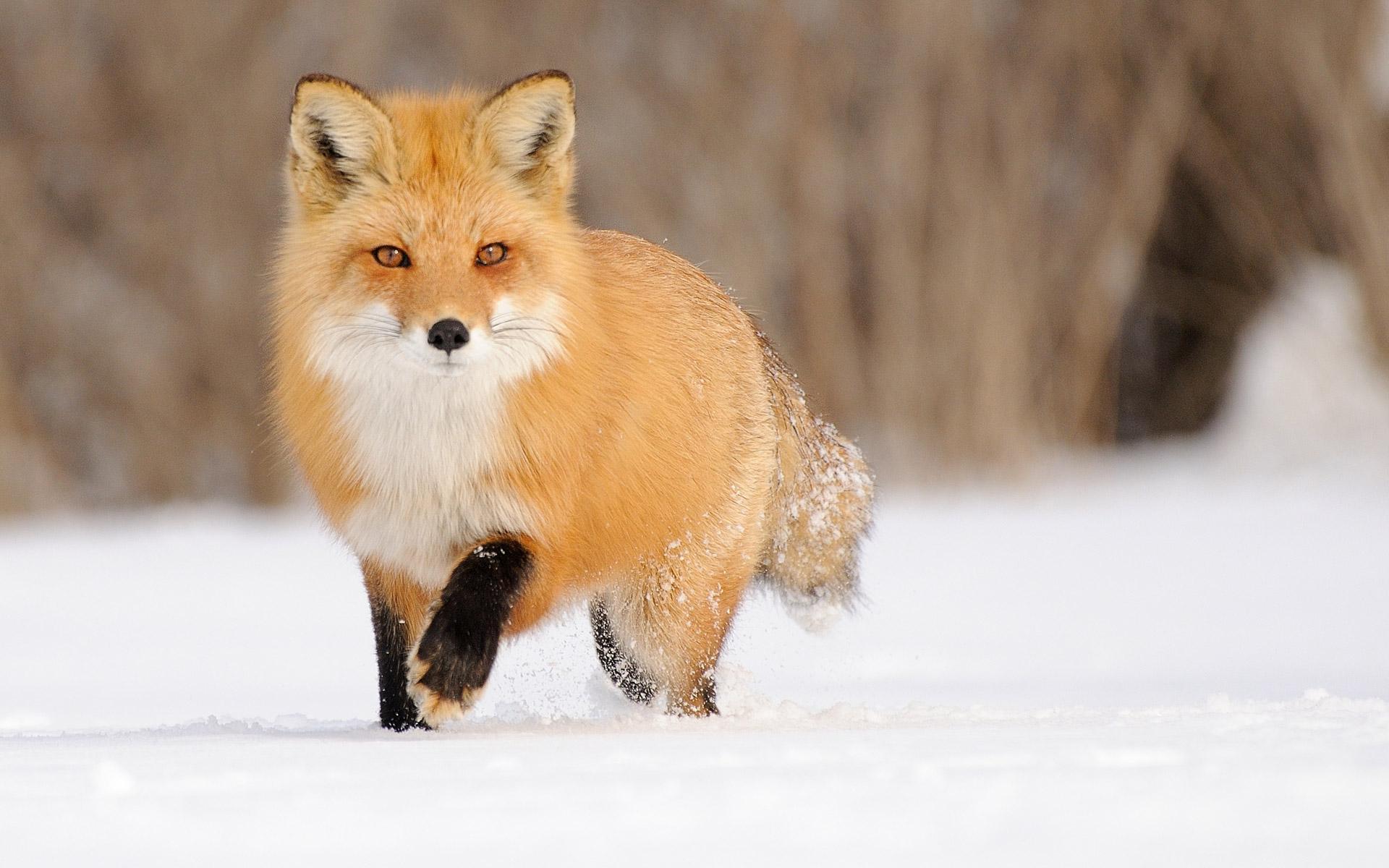 Snow Fox Wallpaper Wallpapersafari