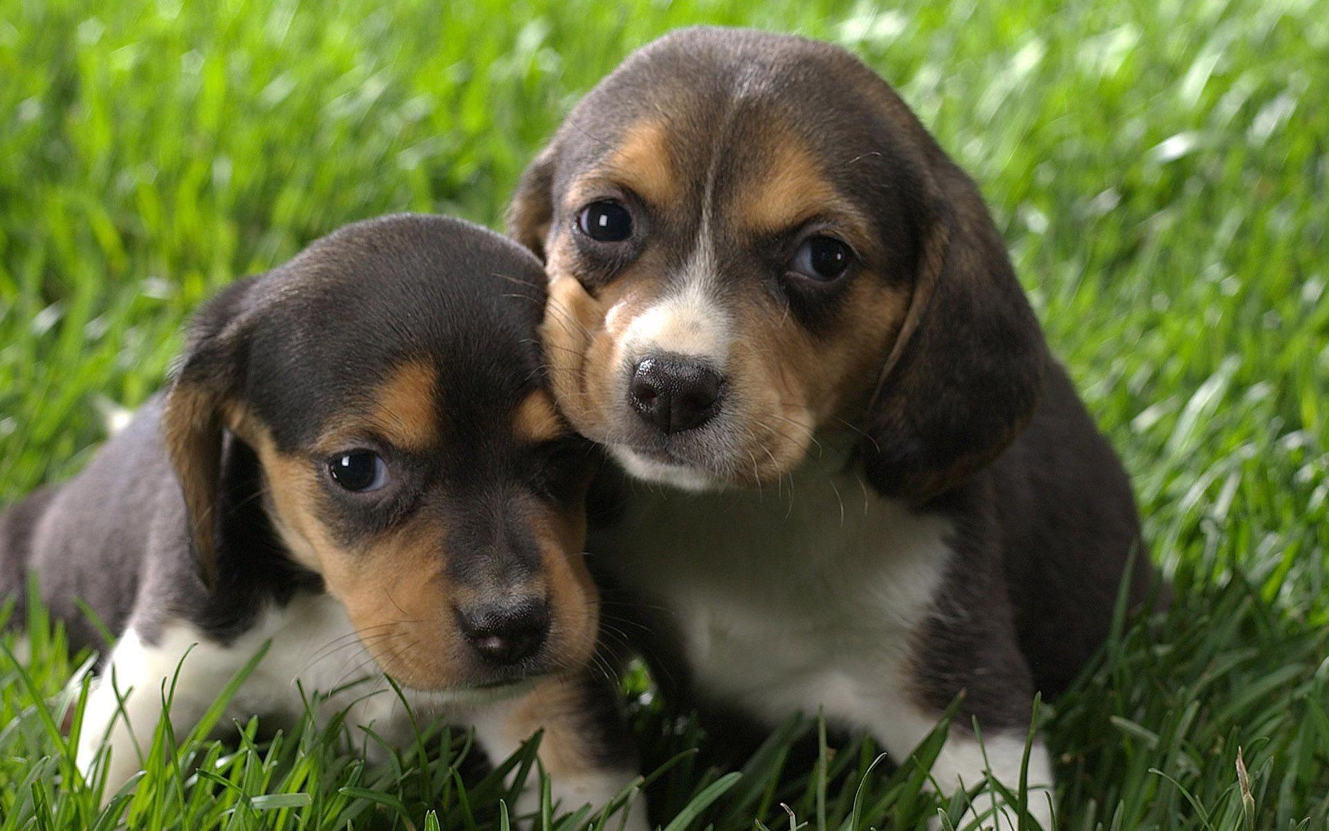 Beagle puppies wallpaper 13706 1920x1200