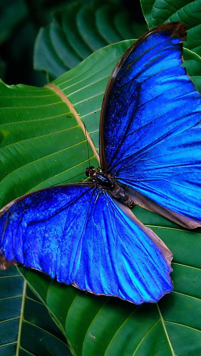Blue Butterfly iPhone 5 HD Wallpapers BullGalleryCom iPhone5 640x1136