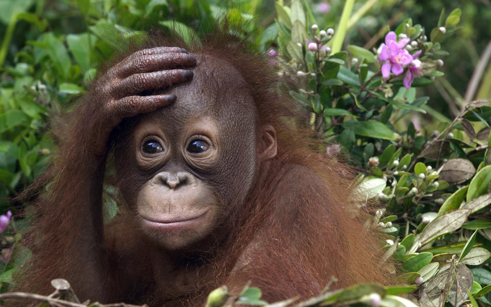 HD animals wallpaper of a cute orangutan baby HD monkeys wallpapers 1600x1000