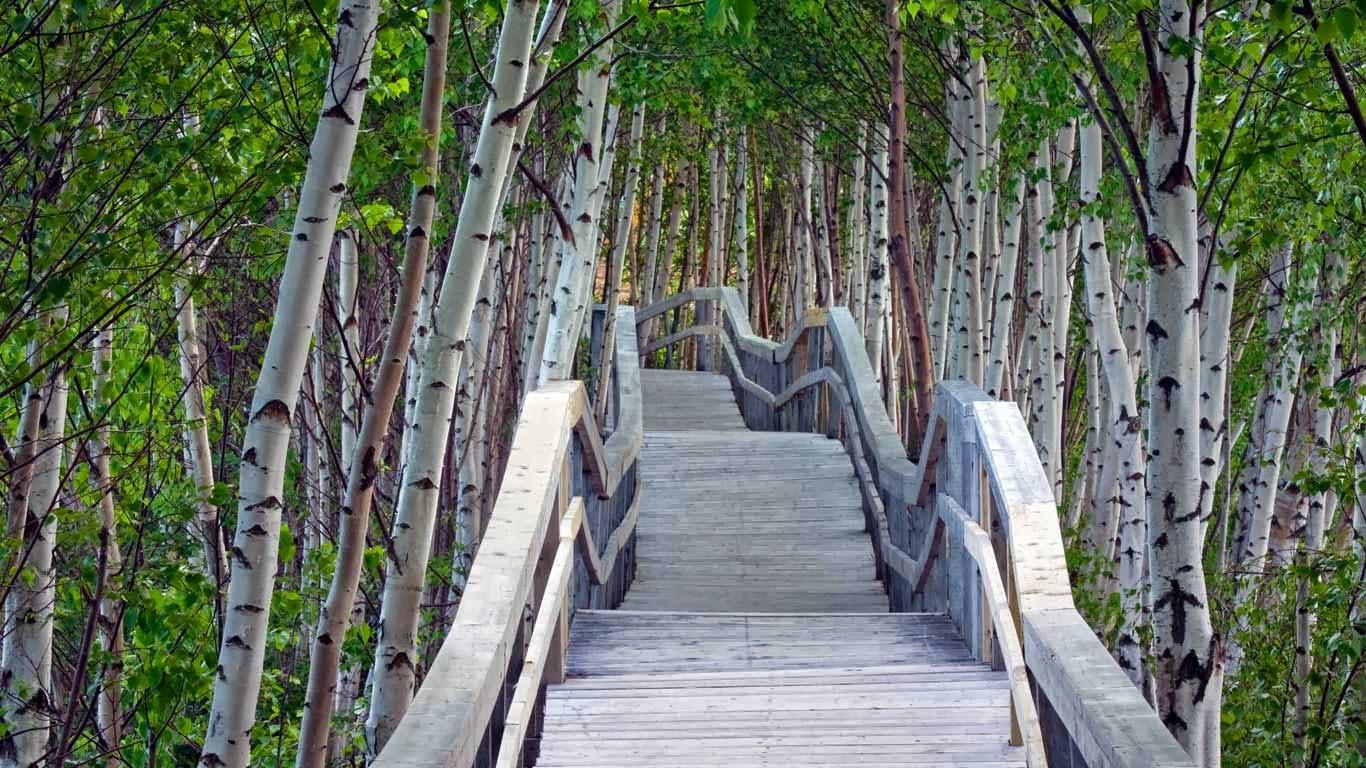 Bing fotos Raised boardwalk and white birch trees in Sackville 1366x768