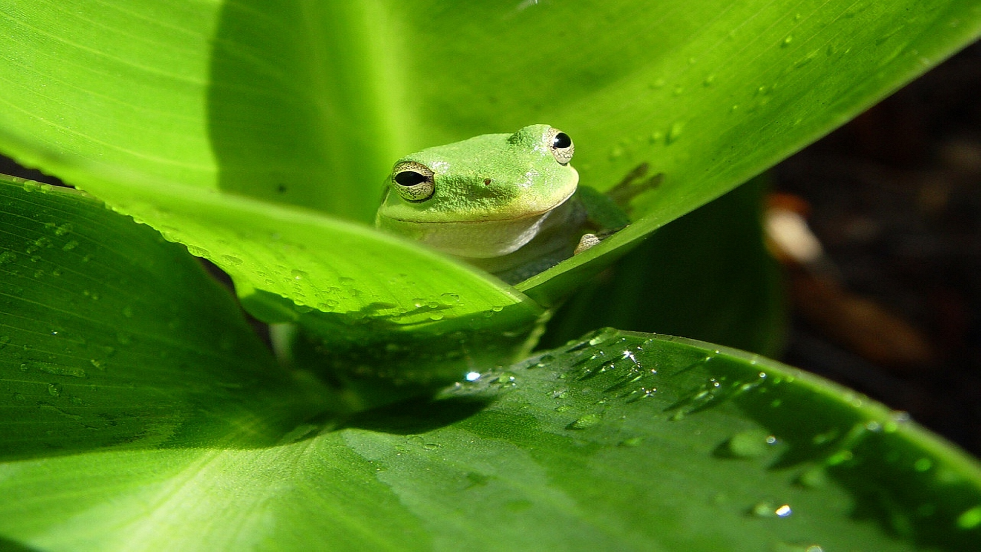 animal planet frogs green wallpaper high highres animals added 1920x1080