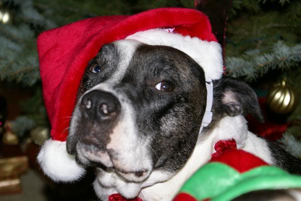 Pitbull Graphics Code Christmas Pitbull Comments Pictures 600x401