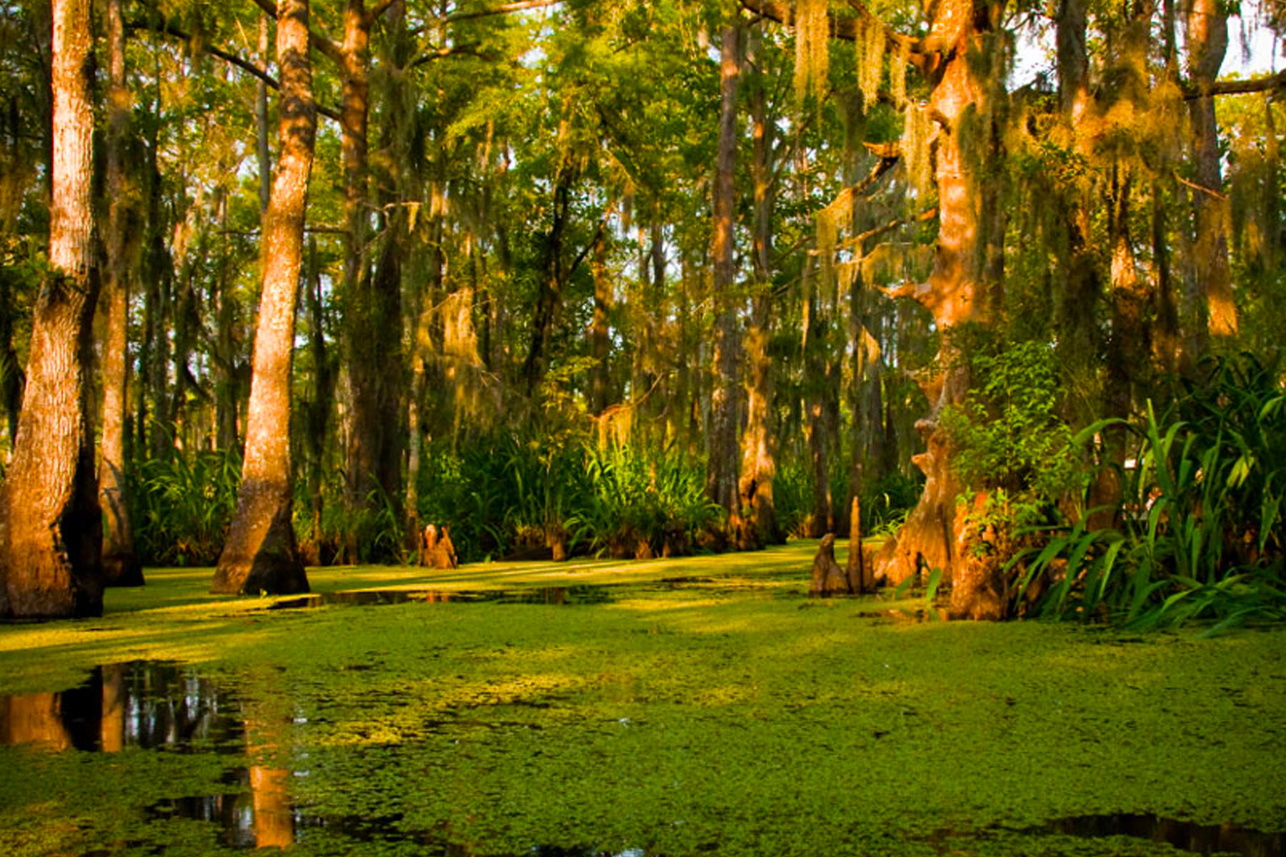Swamp Background 1800x1200