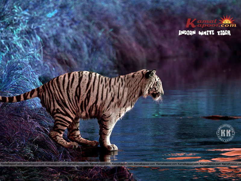 Indian Wallpaper Indian White Tiger Wallpaper Beautiful Indian 800x600