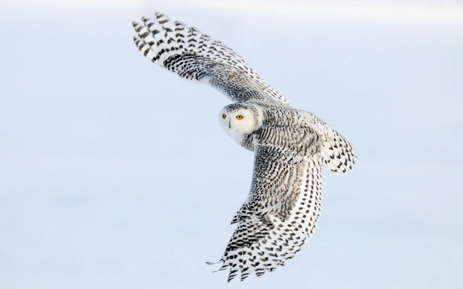 the picture of a flying white owl HD owls wallpapers   backgrounds 1600x1000