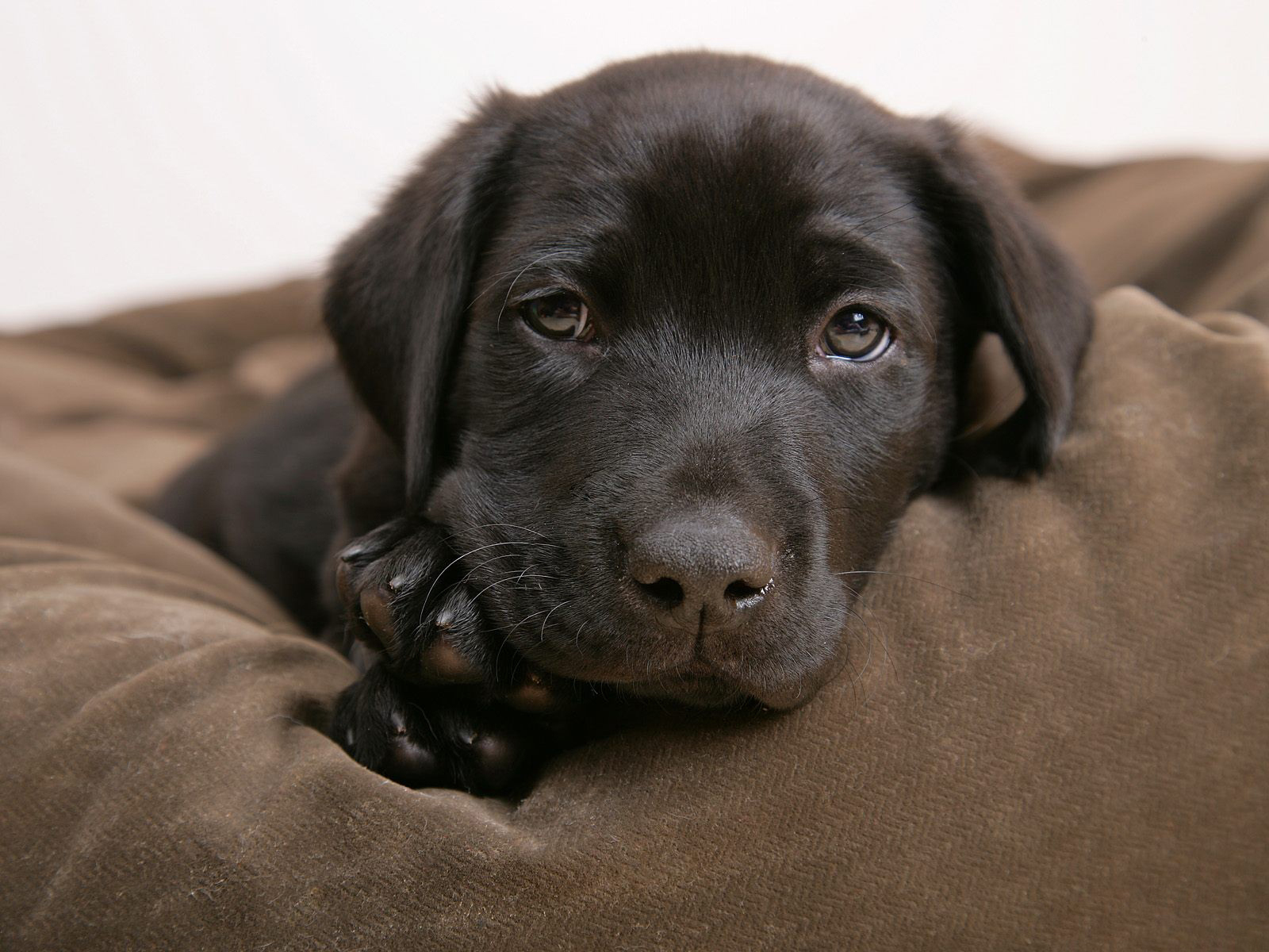 Little labrador   Puppies Wallpaper 14749010 1600x1200