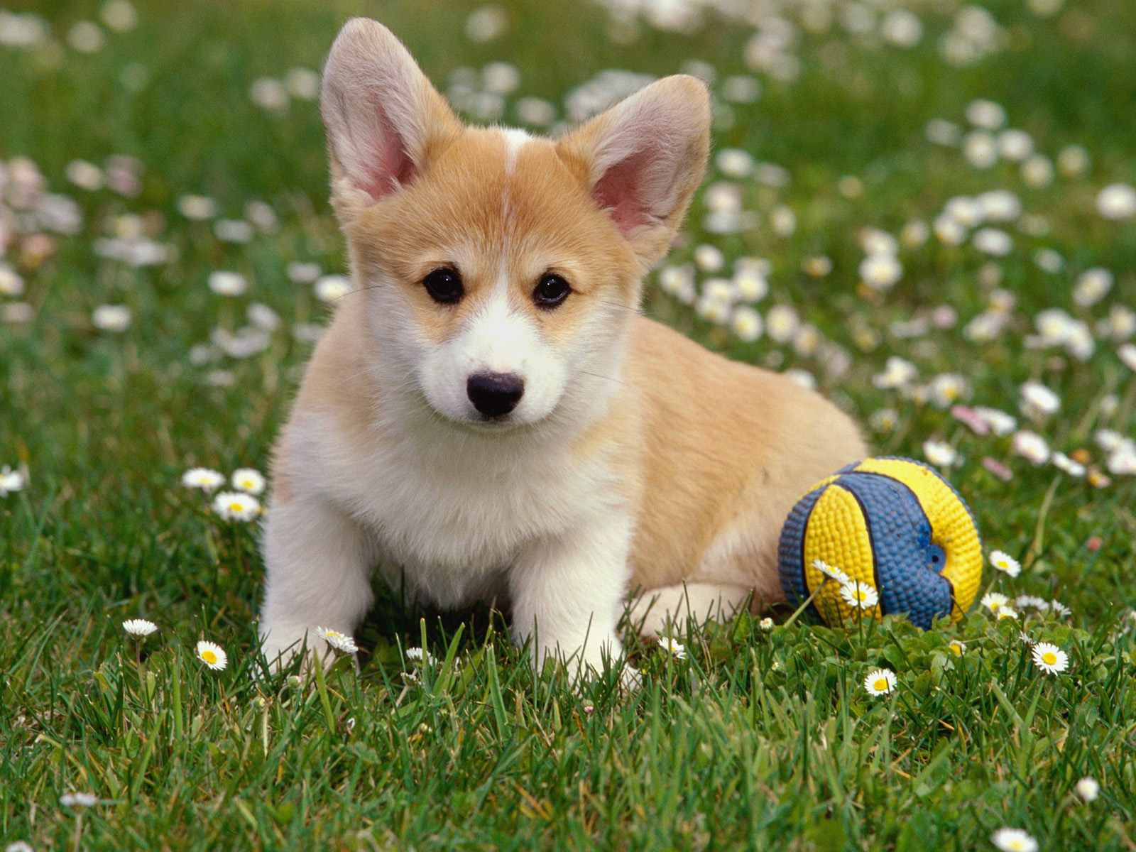 dog hd wallpapers images for dog hd dog wallpapers full hd wallpaper 1600x1200