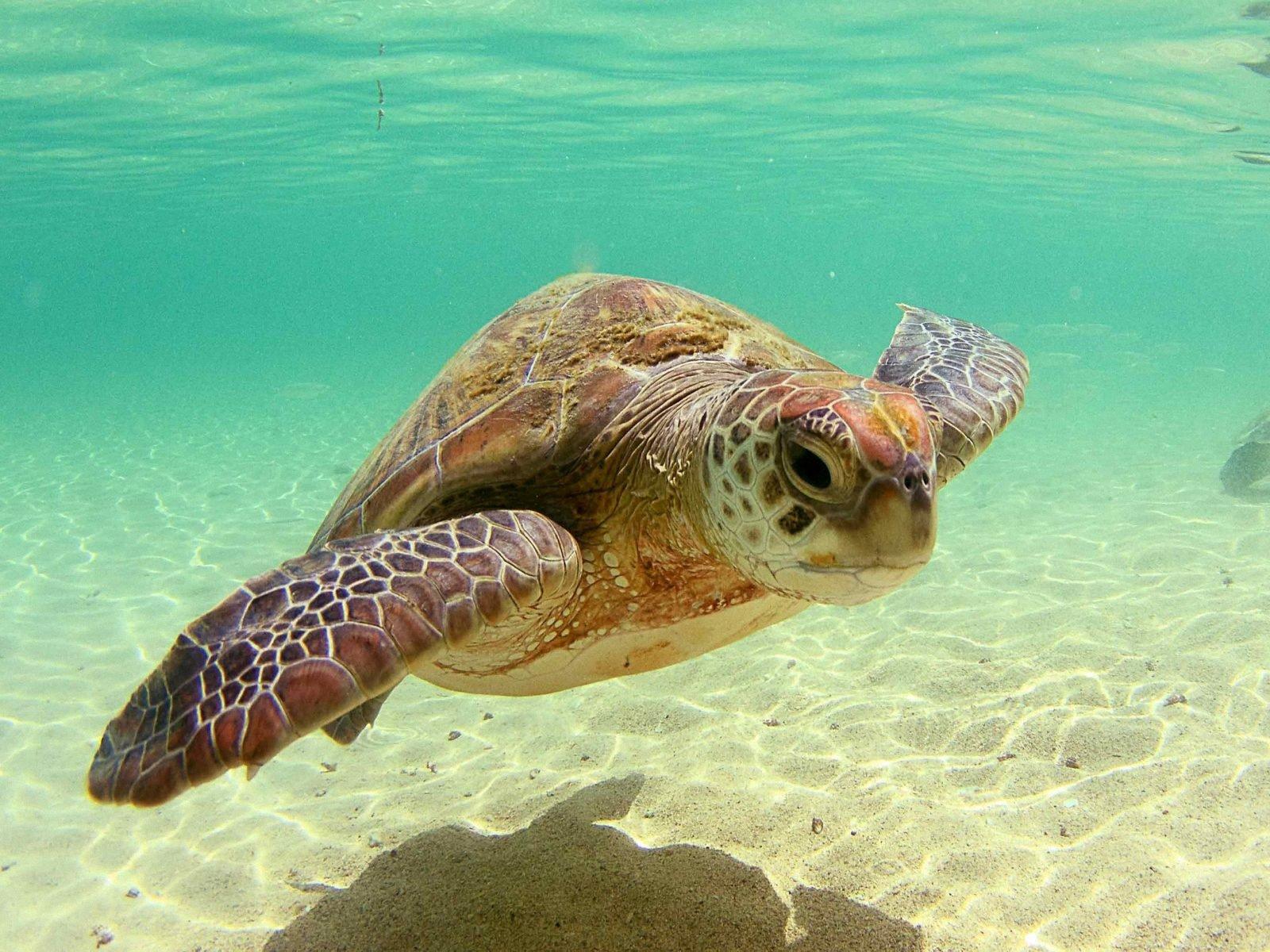 [48+] Free Sea Turtle Wallpaper Backgrounds on WallpaperSafari