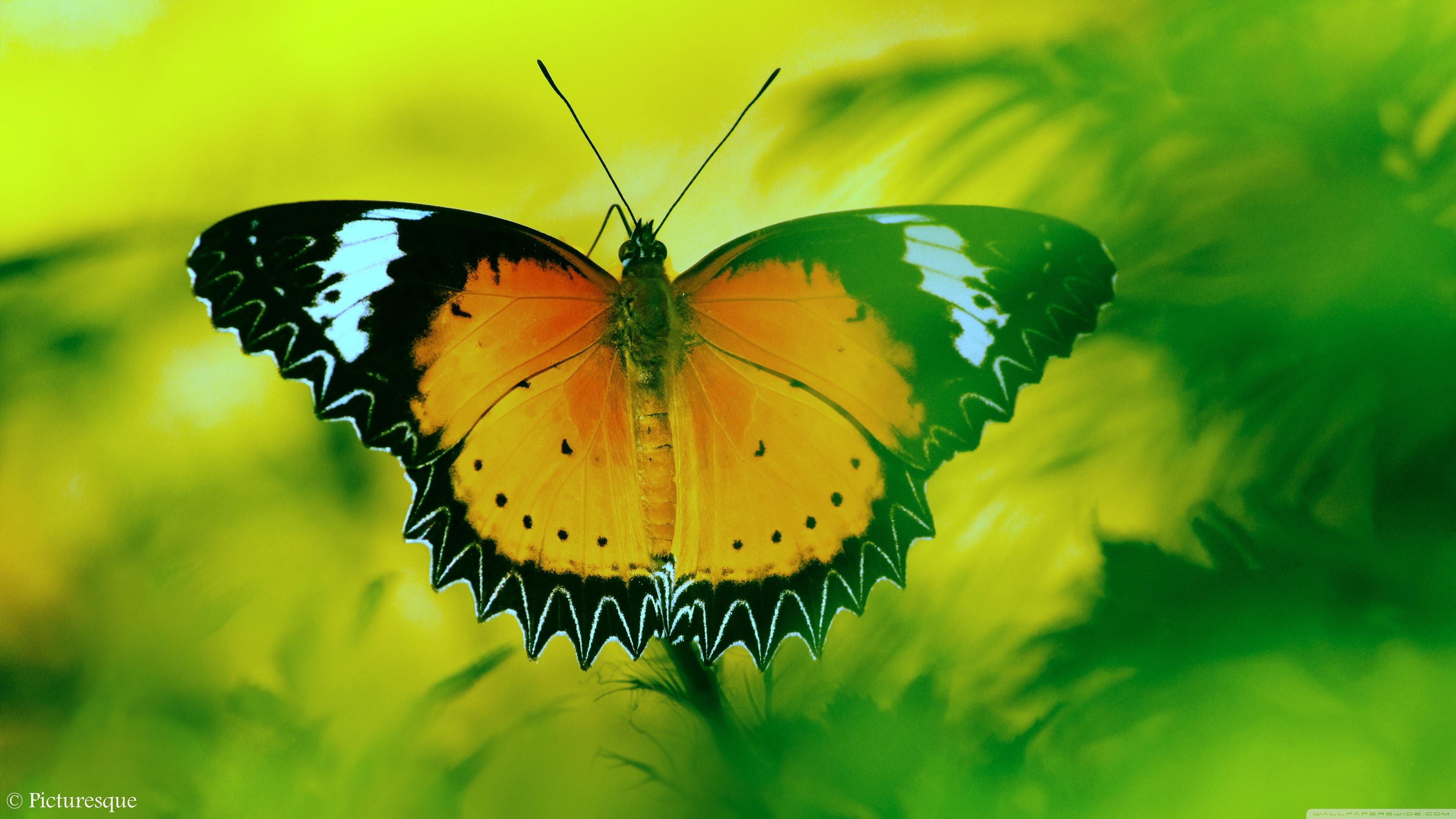 27 Butterfly 4k Wallpapers On Wallpapersafari
