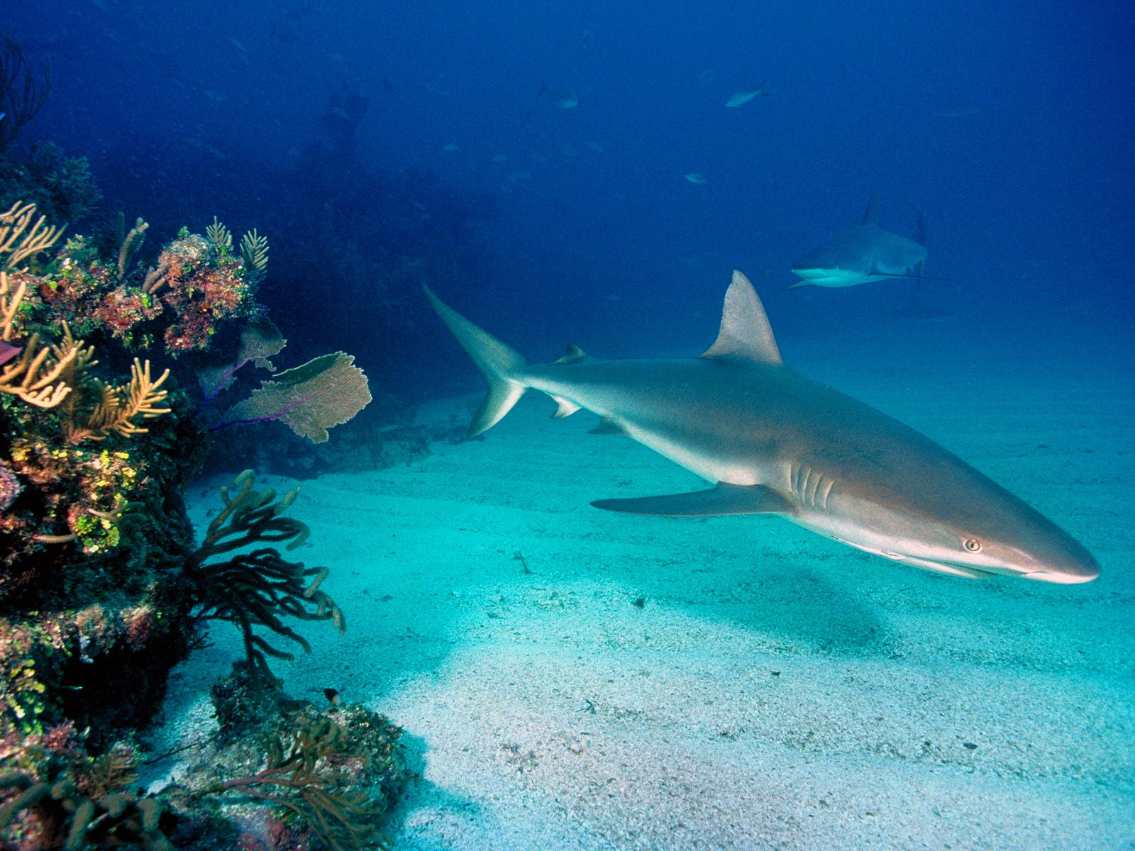 Grey reef sharks wallpapers and images   wallpapers pictures photos 1600x1200