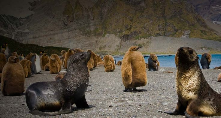 Bing Images   Gold Harbor Otters Seals Beavers and Walrus too P 736x393