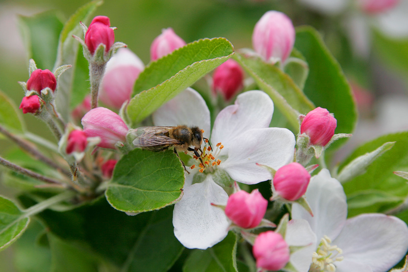 Apple Blossom Wallpapers Wallpaper Bonzy 1600x1067