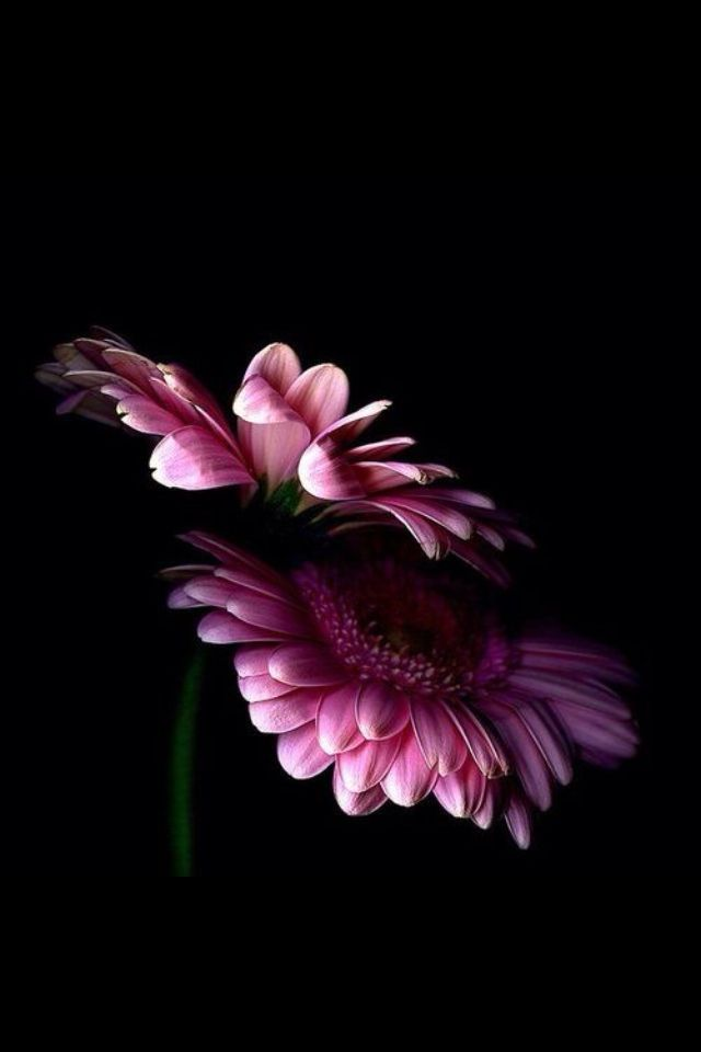 Download flower wallpaper black pink Wallpapers for iPhone 640x960