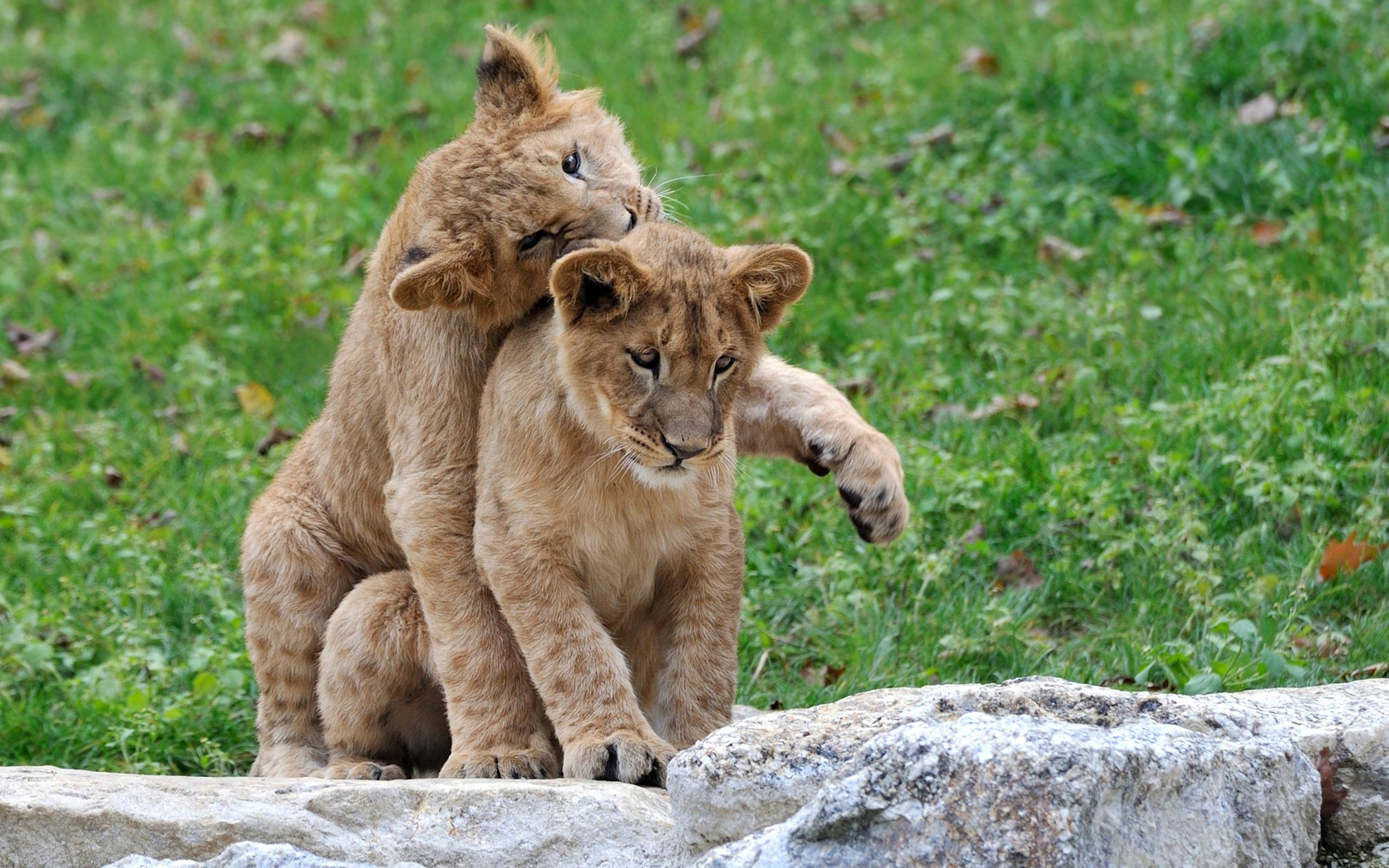Lion cubs wallpaper 31124 2560x1600