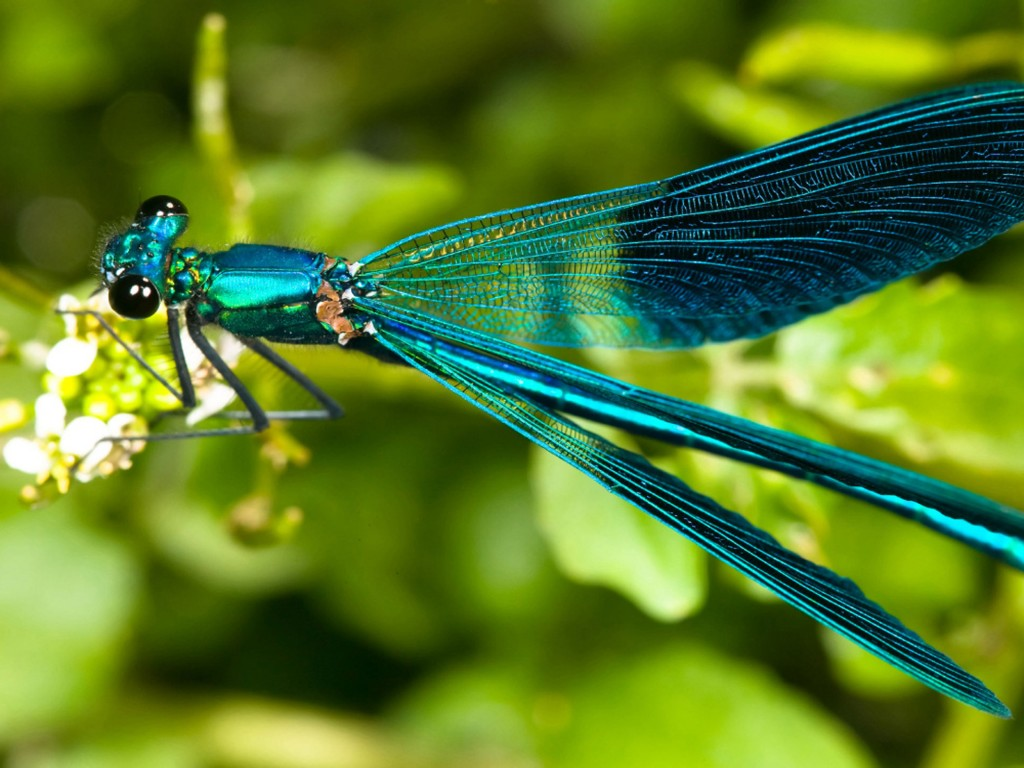 Dragonfly turquoise green Hd Wallpaper Wallpapers13com 1024x768