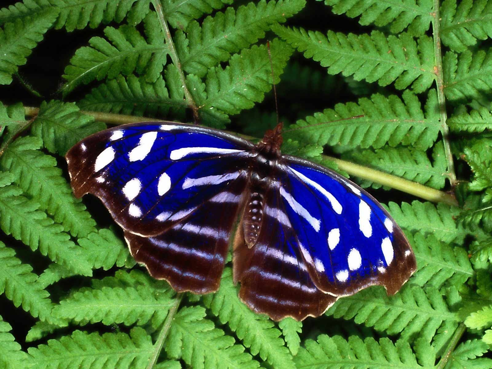 Blue and White Butterfly HD Wallpapers 1600x1200