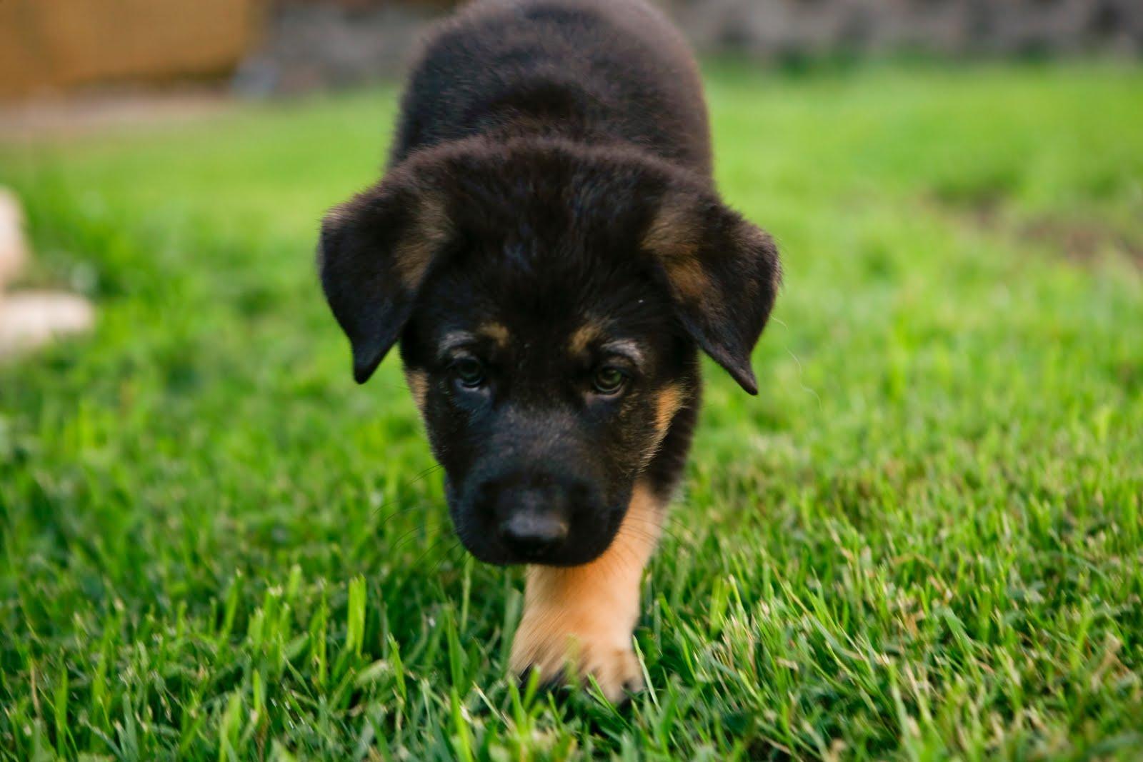 German Shepherd Puppy Pictures 1600x1067