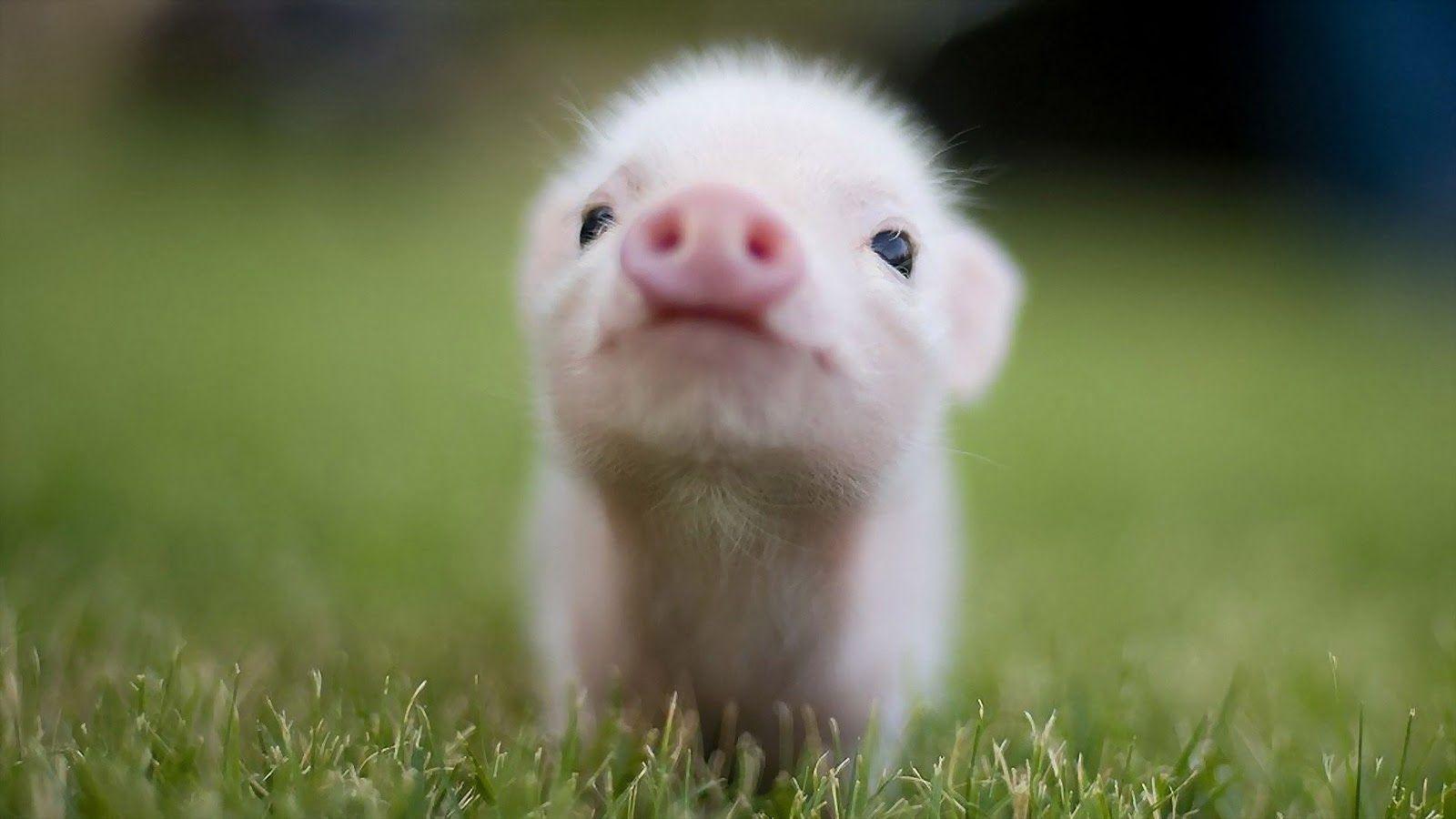 Cute Pig Wallpapers 1600x900