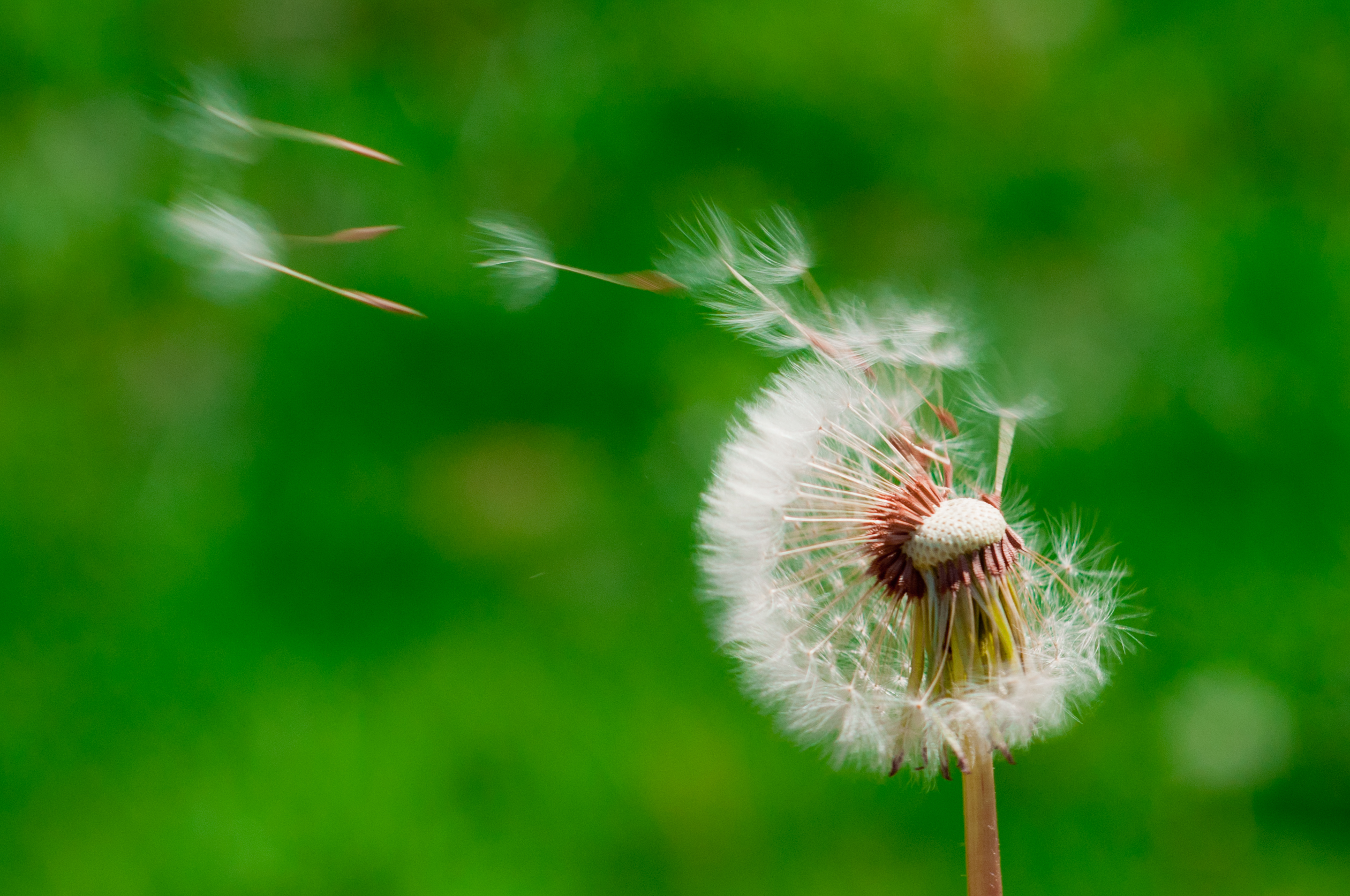 Blowing Dandelion Photography | Top Pictures Gallery Online