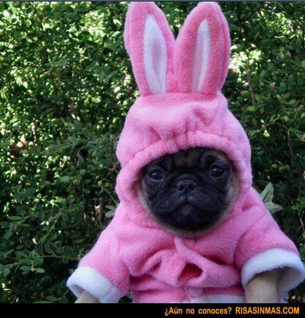 Disfraz de conejo de un perrito PUG 600x625