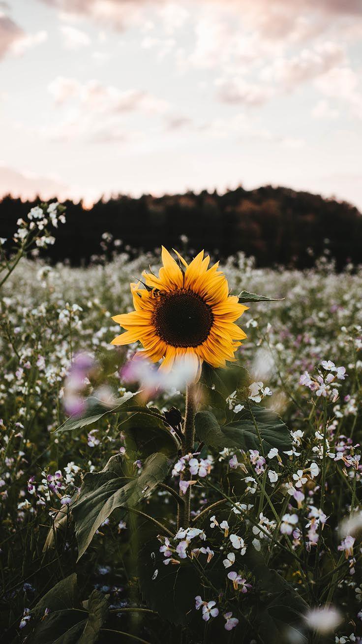 10 Super Pretty iPhone X Wallpapers raeesah Sunflower 736x1308