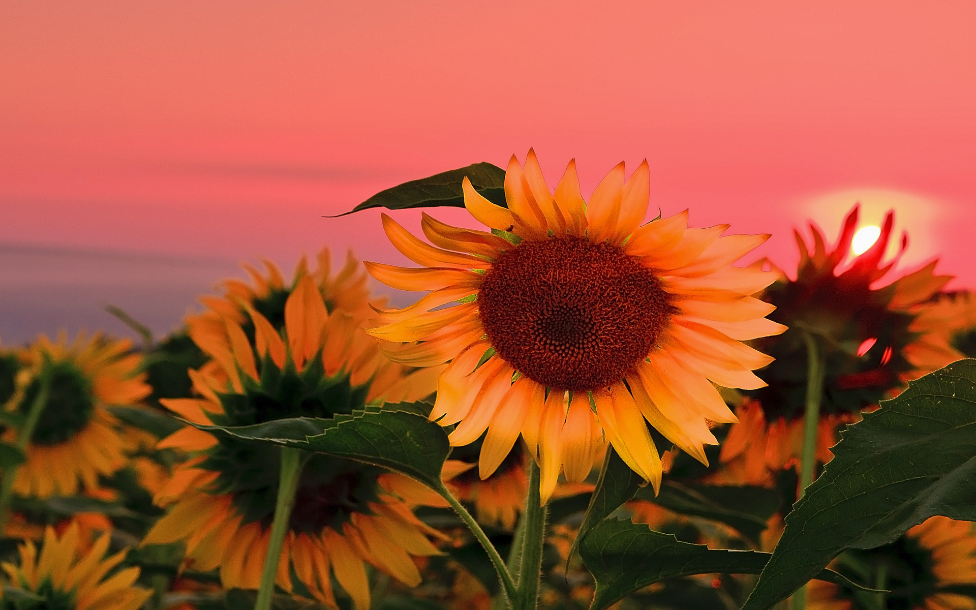 Field sunflowers sunset wallpaper 1920x1200 101196 WallpaperUP 1920x1200
