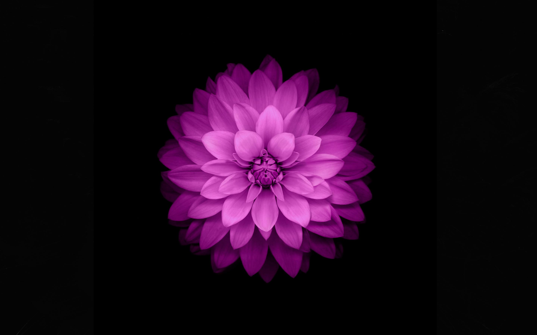 flower purple black background petals wallpapers photos pictures 2880x1800