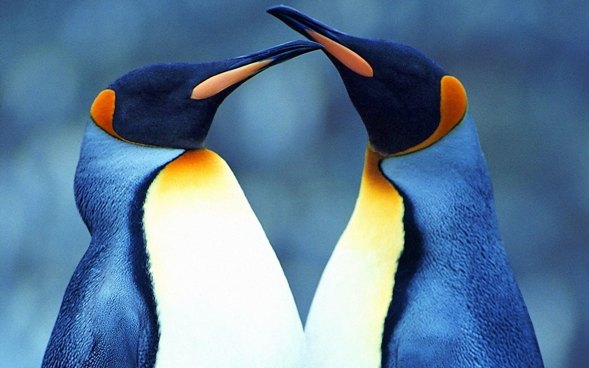 Penguin Love HD Wallpaper Background Image 1920x1200 ID 1920x1200