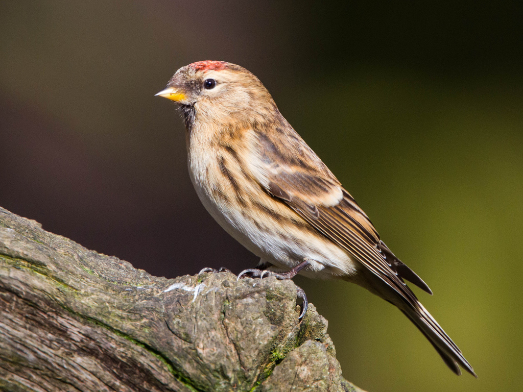 Common Redpoll Introduced Birds of New Zealand iNaturalistorg 1024x768