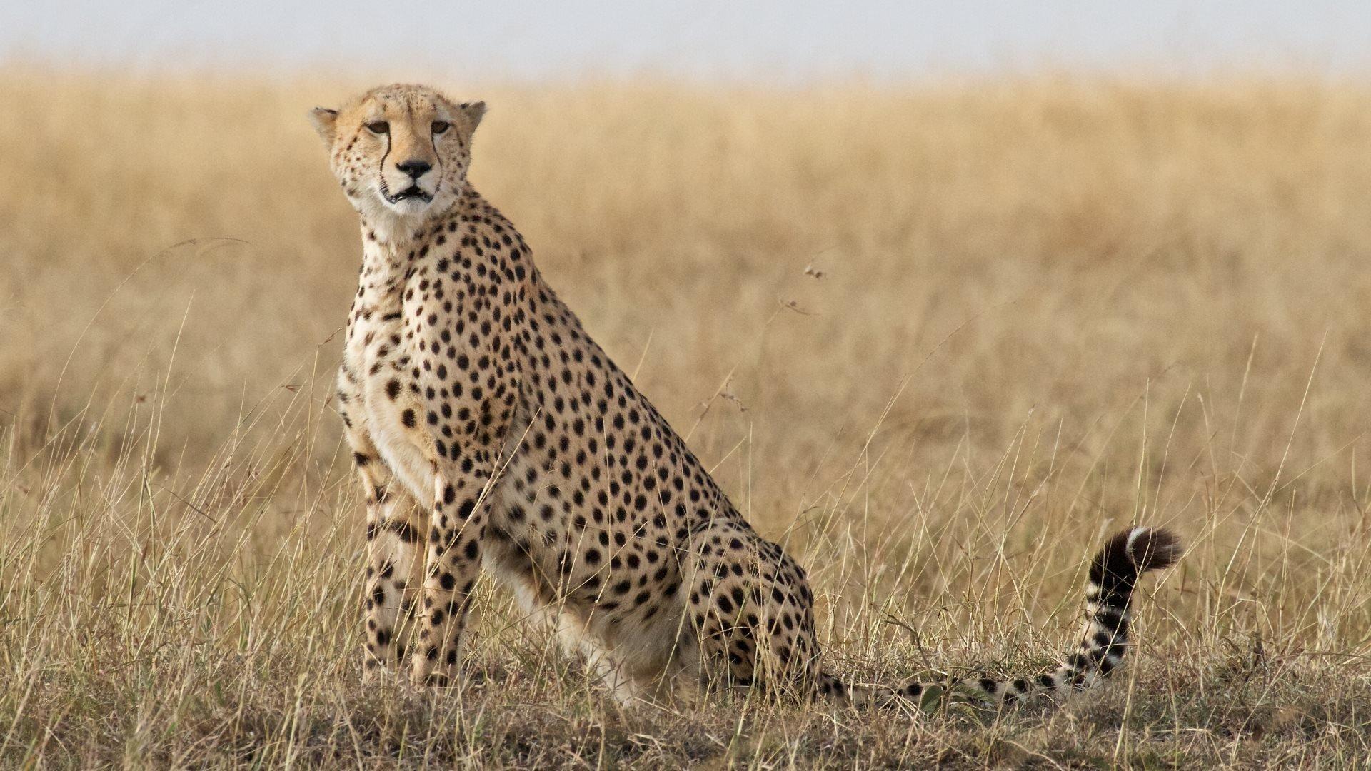 cheetah wallpaper hd wallpapersafari