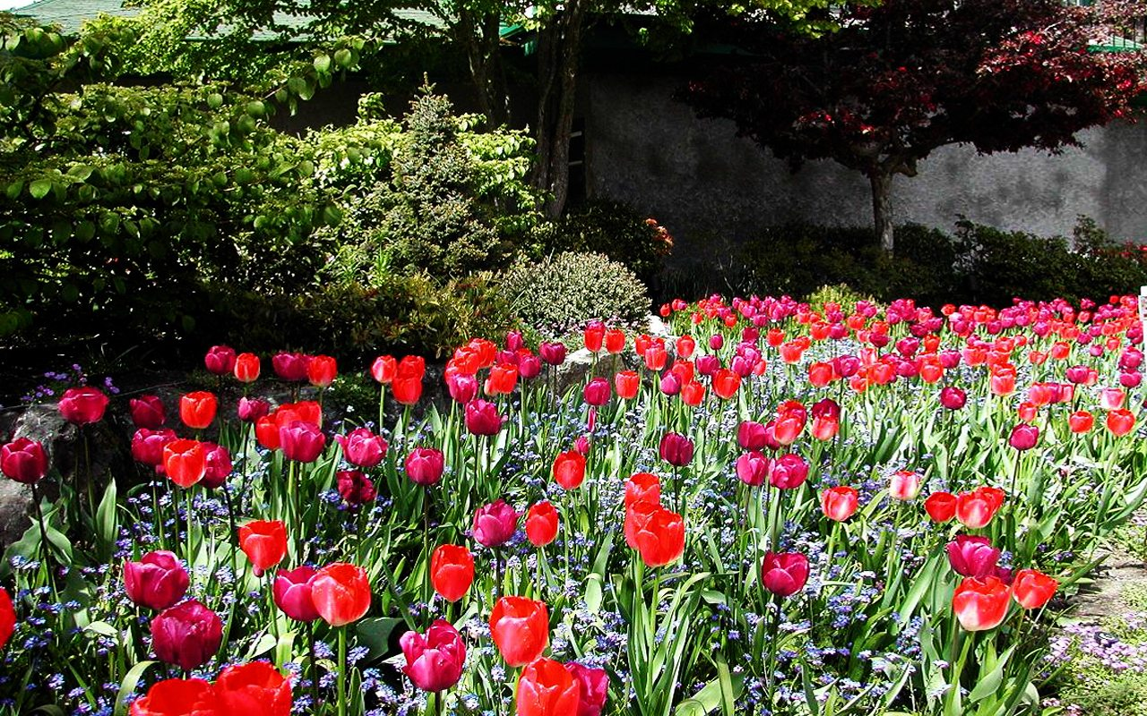 Butchart Gardens Tulips Victoria Flores Canada wallpaper download 1280x800