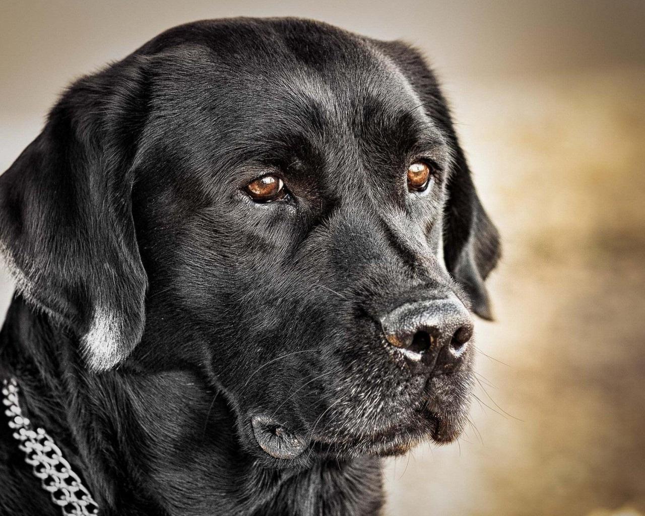 Pics Photos   Black Labrador Wallpaper By 1280x1024