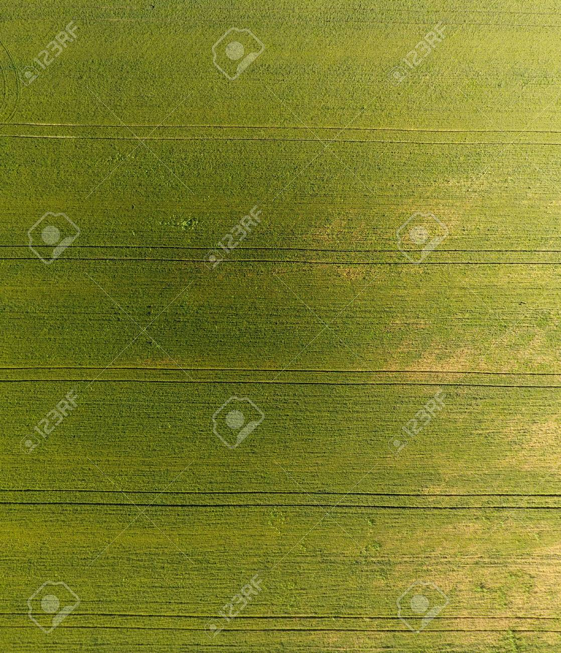 Texture Of Wheat Field Background Of Young Green Wheat On The 1118x1300