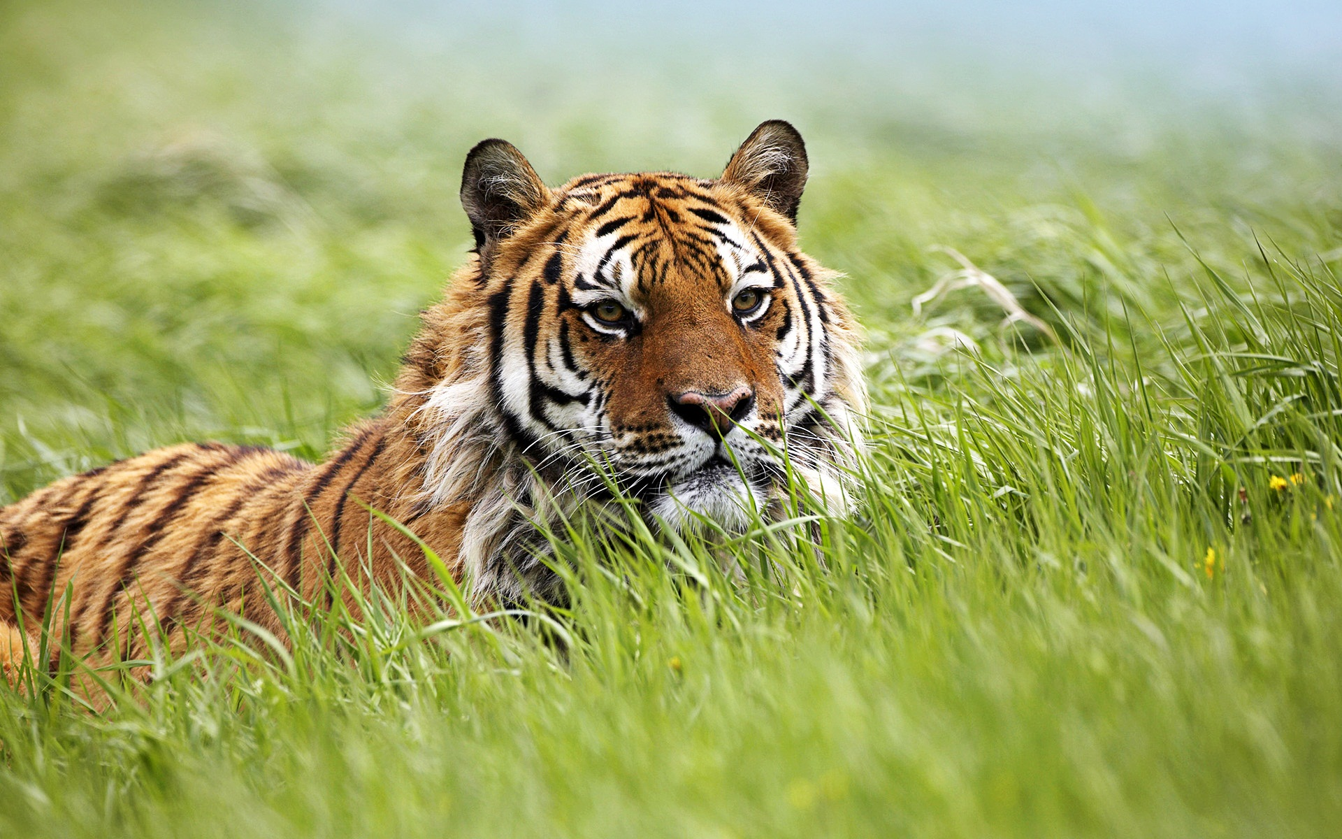 Amazing Siberian Tiger Wallpapers HD Wallpapers 1920x1200
