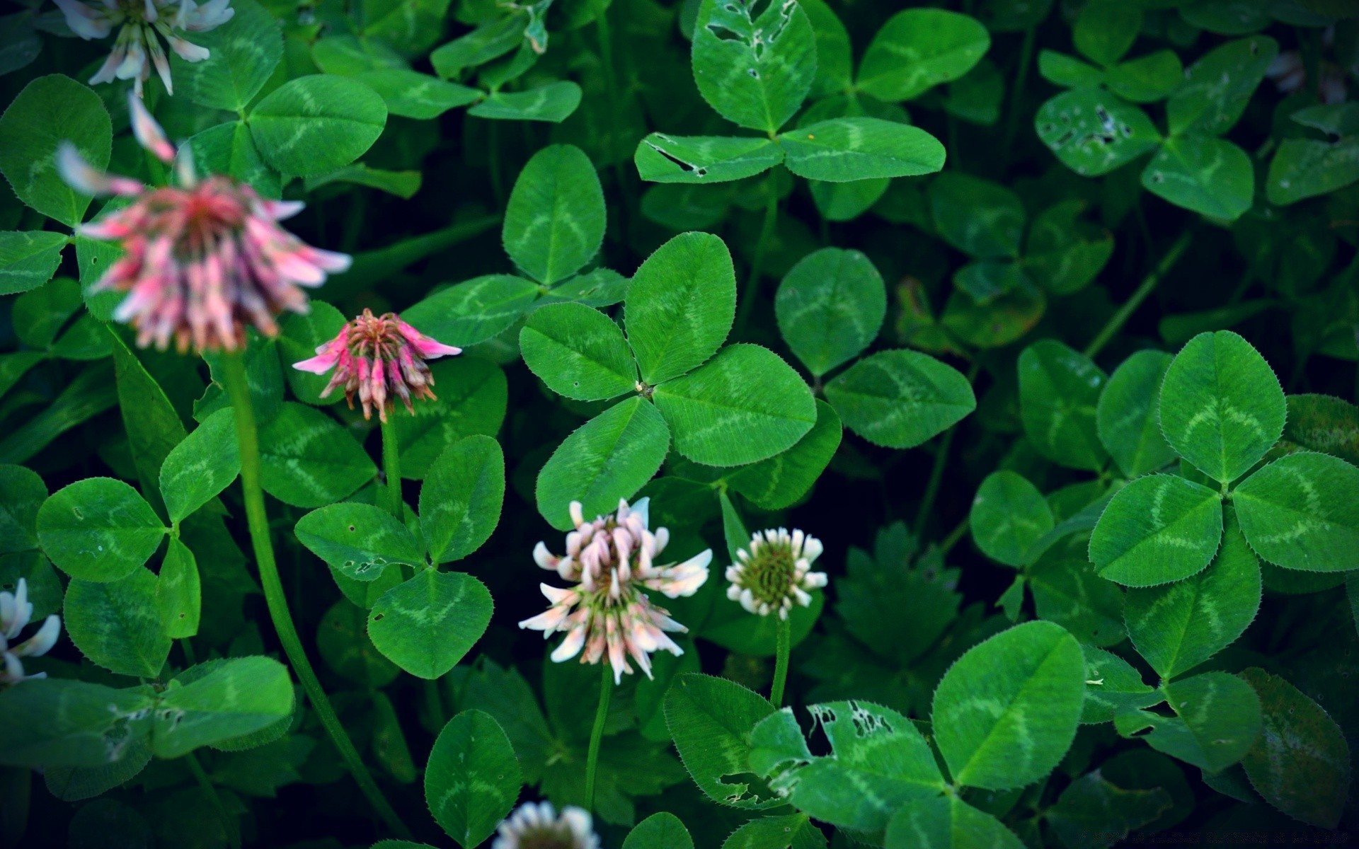 Can You Find a Four Leaf Clover   Android wallpapers 1920x1200