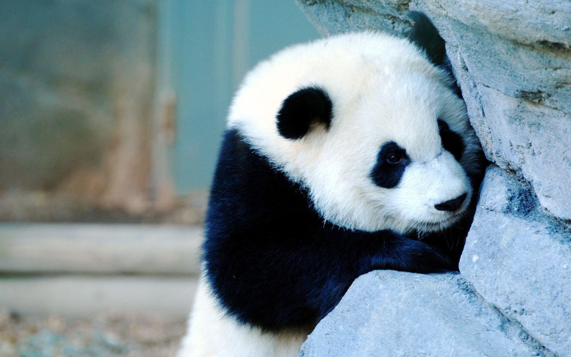 Baby Panda Wallpapers 1920x1200