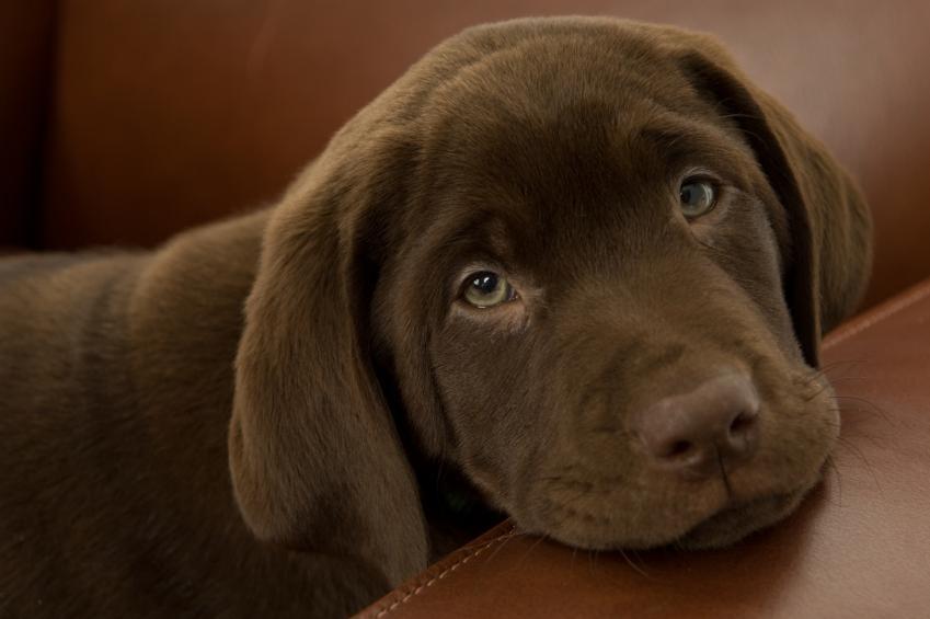Chocolate Labrador Retriever Puppies Wallpaper chocolate lab puppy 849x565