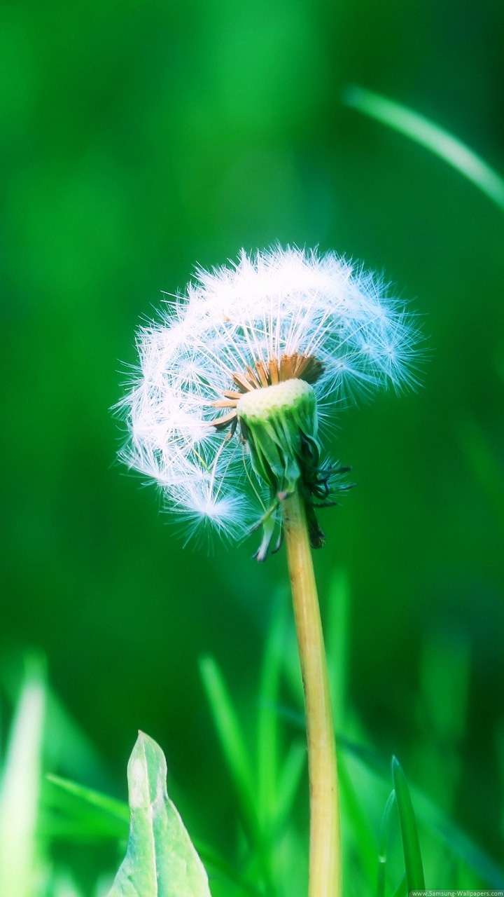 Dandelion Desktop 720x1280 Samsung Galaxy S3 Wallpaper HD_Samsung ...