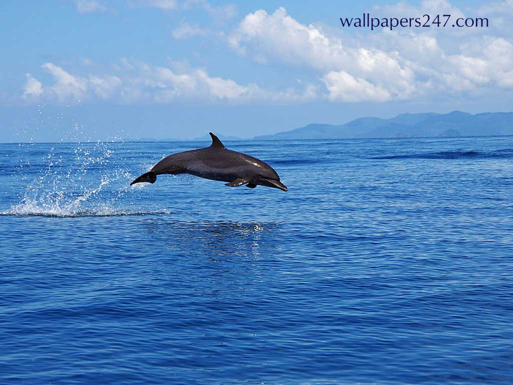 Jumping Dolphin Wallpaper 8655 Hd Wallpapers in Animals   Imagesci 1024x768